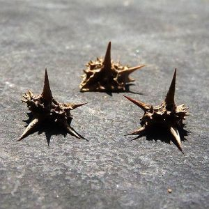 Sharp spikes allow the seeds to travel easily on tires & shoes.